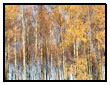 Golden Autumn Leaves on Silver Birch Trees
