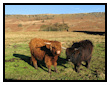 Highland Cattle at Stanage Edge